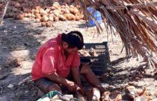 Oaxaca, cuarto lugar a nivel nacional en producción de copra: Sedapa
